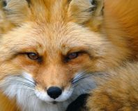 Spirit of the Fox - Spirit des Fuchses