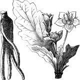 Alraune - Die Zauberpflanze