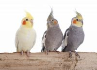 Cockatiel Animal Meditation Empowerment - Nymphensittich