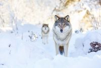 Wolf Animal Meditation Empowerment