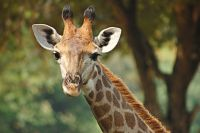 Giraffe Animal Meditation Empowerment