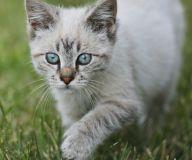 Stealth of the Cat Reiki - Schläue der Katze