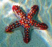 Spirits of the Sea - Starfish/ Seestern