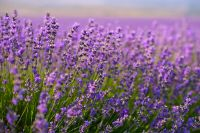 Essential Lavender Force - Essentielle Lavendelkraft
