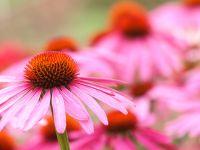 Echinacea Reiki